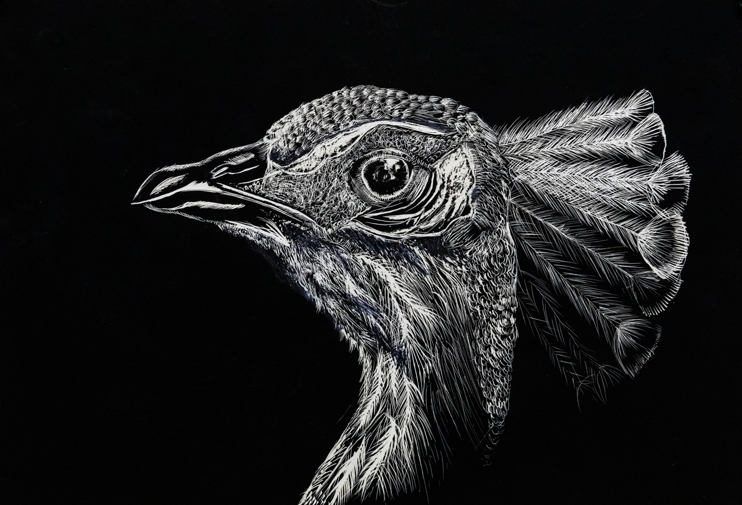 38. Isabella Guilbert, 'Peacock study', scratch board, Year 9, Armidale Secondary College